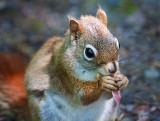 Red Squirrel Closeup 20090607