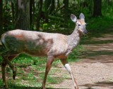 Deer On The Trail 00367