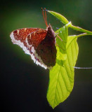 Mourning Cloak Butterfly 00425