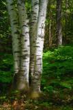 Four Birches 49550