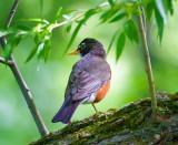 Robins of Ontario