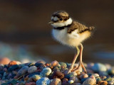 Killdeer Chick 49861