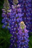 Backlit Lupin 20090625