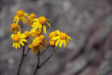 Yellow Wildflowers 01685