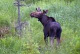 Curious Moose 02925