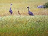 Sandhill Crane Family 20090716