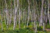 Birch Grove 03290