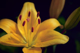 Golden Lily 20090719