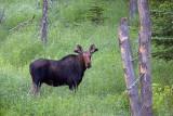 Curious Moose 02928
