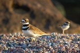 Killdeer Parent With Chick 49864