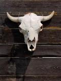 Cow Skull 20090801