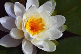 Water Lily 20090811