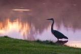 Heron At Sunrise 05002
