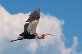 Heron In Flight 05229