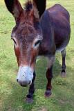 Donkey Up Close 04756
