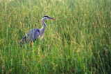 Heron In River Grass 50469