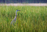 Heron In River Grass 50470