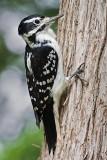 Woodpecker On A Tree 50757
