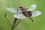 Dragonfly 50810