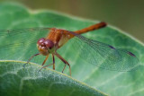 Dragonfly On A Leaf 50828