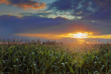 Sunset Over A Cornfield 06722