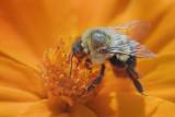 Bee On An Orange Flower 50965