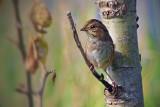 Swamp Sparrow 20080907