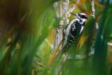 Woodpecker Through Marsh Grass 51146