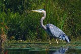 Heron In A Marsh 51308