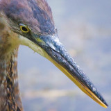 Heron Head 51554
