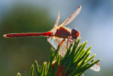 Backlit Dragonfly On A Pine 20090922