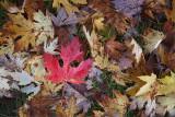 Red Leaf 20090929