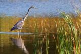 Hunting Heron 51881