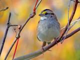 Sparrow In Autumn Color 20091017