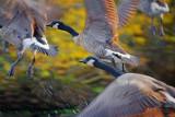 Geese Taking Flight 51928