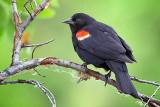 Red-winged Blackbird 20100614