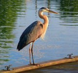 Heron On A Dock 20100623