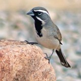 Black-throated Sparrow 30770