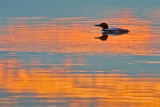 Loon In Sunset Reflection 20100625