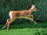 Fawn On The Run 53877