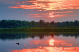 Loon At Sunset 53825-6