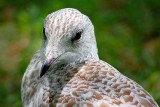 Gull Closeup 54158