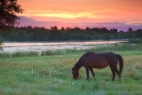 Grazing Horse At Sunrise 20100730