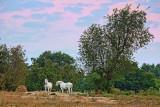 Two White Horses 19967