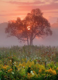 Tree In Foggy Sunrise 20405