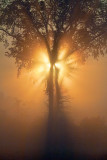 Tree In Foggy Sunrise 21209
