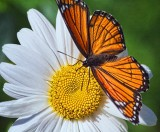 Viceroy On A Daisy 20100912