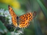 Orange Butterfly 54376