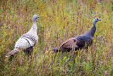 Wild Turkeys 23434-5