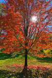Autumn Tree 00323